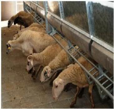 Доильный зал «Параллель» (для коз)
